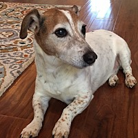 Jack Russell Terrier Mix Dog for adoption in Oceanside, California - Gus