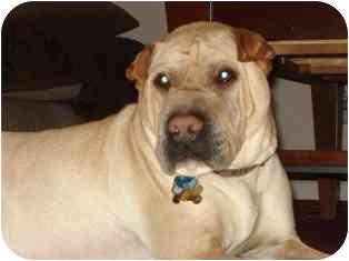 Shar Pei Dog for adoption in Houston, Texas - Braxton