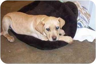 American Staffordshire Terrier Mix Puppy for adoption in Osceola, Arkansas - Boscoe