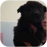 Border Collie/German Shepherd Dog Mix Puppy for adoption in Broomfield, Colorado - Serena