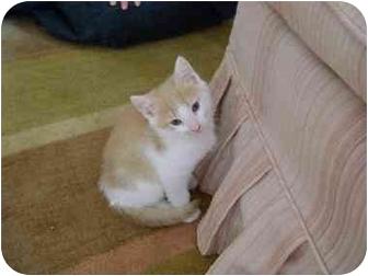 Domestic Shorthair Kitten for adoption in Westfield, Massachusetts - Sandy