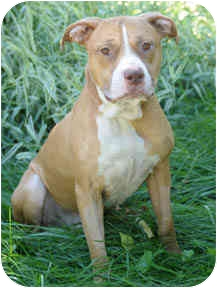 American Staffordshire Terrier/Pit Bull Terrier Mix Dog for adoption in Chicago, Illinois - Loki
