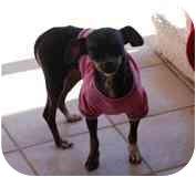 Chihuahua Mix Dog for adoption in Albuquerque, New Mexico - Anna Banana