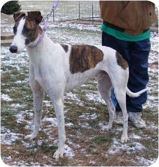 Greyhound Dog for adoption in Fremont, Ohio - Charlie