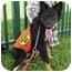 Photo 1 - Collie/Sheltie, Shetland Sheepdog Mix Dog for adoption in Homestead, Florida - CL Tucker Boy