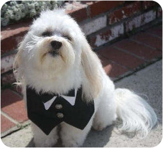 Maltese Mix Dog for adoption in Irvine, California - Charlie