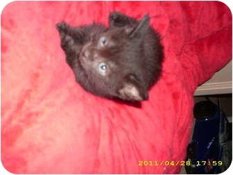 American Shorthair Kitten for adoption in Simpsonville, South Carolina - Midnight