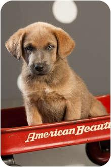 Labrador Retriever/Plott Hound Mix Puppy for adoption in Portland, Oregon - Milhouse