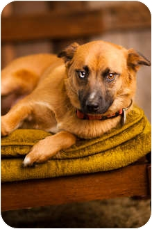Australian Shepherd/German Shepherd Dog Mix Dog for adoption in Portland, Oregon - Brandy