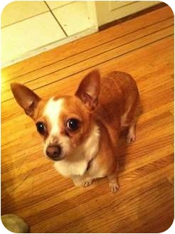 Chihuahua Mix Dog for adoption in Vancouver, British Columbia - Tinks