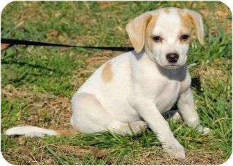 Beagle Mix Puppy for adoption in Spring Valley, New York - Della
