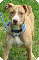 Labrador Retriever Mix Dog for adoption in Bloomfield, Connecticut - Beetle