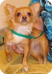 Chihuahua Dog for adoption in geneva, Florida - Livie