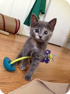 Domestic Shorthair Kitten for adoption in Vero Beach, Florida - Gabbie