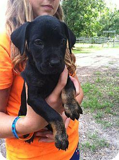 Shar Pei/Labrador Retriever Mix Puppy for adoption in Groveland, Florida - Juniper