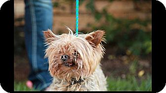 Yorkie, Yorkshire Terrier Dog for adoption in Lewis Center, Ohio - Dallas