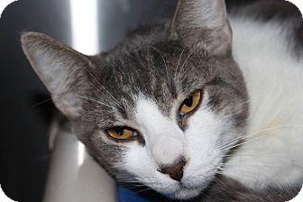 Domestic Shorthair Cat for adoption in HARRISONVILLE, Missouri - Adam