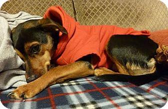 Manchester Terrier Mix Dog for adoption in Hamilton, Ontario - Minnie