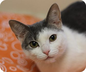 Domestic Shorthair Cat for adoption in Chicago, Illinois - Peepers
