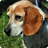 Beagle Dog for adoption in Waldorf, Maryland - Ginger Ridgley