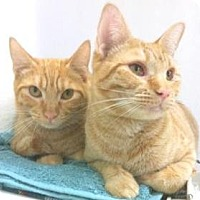 Domestic Shorthair Cat for adoption in Miami, Florida - Marcos