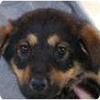 Adopt A Pet :: Shepherd Puppies - Palmyra, WI
