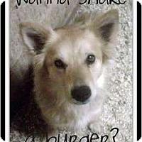 Adopt A Pet :: RODEO - Gilbert, AZ