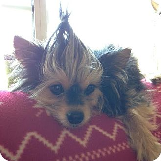 Yorkie, Yorkshire Terrier Mix Dog for adoption in San Francisco, California - Casey