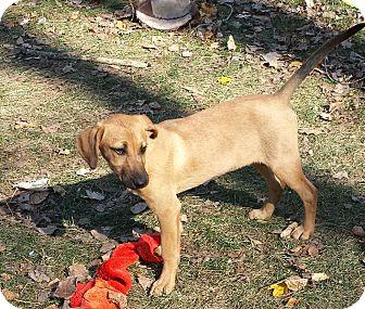 Shepherd (Unknown Type)/Labrador Retriever Mix Puppy for adoption in Davisburg, Michigan - Kass