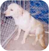Golden Retriever Mix Dog for adoption in Tahlequah, Oklahoma - Blondie
