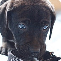Adopt A Pet :: Puppy BB - Broomfield, CO