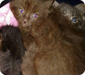 Maine Coon Kitten for adoption in Ypsilanti, Michigan - Gogi