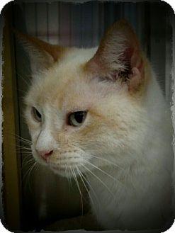 Siamese Cat for adoption in Pueblo West, Colorado - Fiona