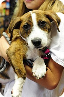 Boxer/Beagle Mix Puppy for adoption in Chicago, Illinois - JInx