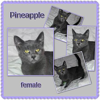 Russian Blue Kitten for adoption in Richmond, California - Pineapple
