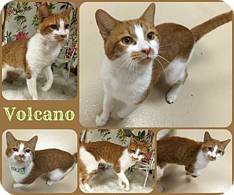 Domestic Shorthair Cat for adoption in Joliet, Illinois - Volcano