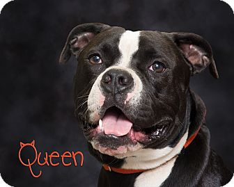 Pit Bull Terrier Mix Dog for adoption in Somerset, Pennsylvania - Queen