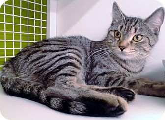 Domestic Shorthair Cat for adoption in Richmond, Virginia - Cagney