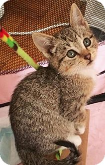 Domestic Shorthair Kitten for adoption in Brooklyn, New York - Dot