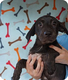 Australian Shepherd/Labrador Retriever Mix Puppy for adoption in Oviedo, Florida - Annabell