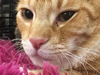 Domestic Mediumhair Cat for adoption in St. Cloud, Florida - Tigger