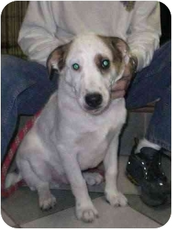 Australian Cattle Dog/Blue Heeler Mix Dog for adoption in Cincinnati, Ohio - Davis