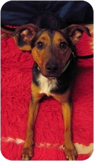 Australian Cattle Dog Mix Dog for adoption in Portland, Oregon - Bandit