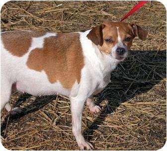 Jack Russell Terrier Dog for adoption in Clarksville, Tennessee - Sadie