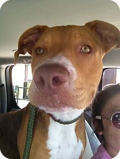 American Pit Bull Terrier/Hound (Unknown Type) Mix Puppy for adoption in Los Angeles, California - Buckey