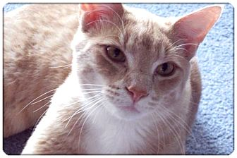 Domestic Shorthair Cat for adoption in Sterling Heights, Michigan - Rusty - ADOPTED!