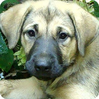 Great Pyrenees/Shepherd (Unknown Type) Mix Puppy for adoption in Pawling, New York - ROSE(AWWW THE CUTEST PUPPY!!