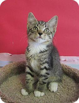 Domestic Shorthair Kitten for adoption in Winston-Salem, North Carolina - Harry