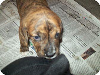 Mastiff/Pit Bull Terrier Mix Puppy for adoption in Mechanicsburg, Pennsylvania - Bebe Stevens