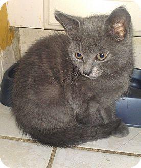 Russian Blue Kitten for adoption in Whitestone, New York - Smokette